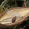 Marsdenia tomentosa (seed).jpg