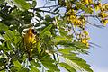 Masked weaver - Queen Elizabeth National Park, Uganda (5).jpg