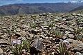 Matthiola parviflora kz08.jpg