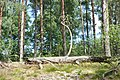 Mežs, Babītes pagasts, Babītes novads, Latvia - panoramio (4).jpg