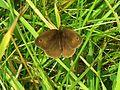 Meadow Brown (Maniola jurtina) (7658129590).jpg