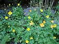 Meconopsis cambrica - Welsh poppy, Keltavaleunikko, Engelsk bergvallmo C DSC07846.JPG