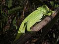Medeterranian chameleon.jpg