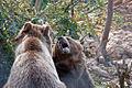 Medvjedi u Kuterevu 040910 3.jpg
