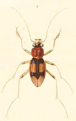 Description de l'image Megacephala_bifasciata.jpg.