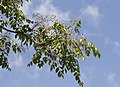 Melia azedarach - Chinaberrytree 01.jpg