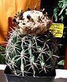Melocactus peruvianus 1e.jpg