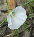 Merremia verecunda Rendle white flower.jpg