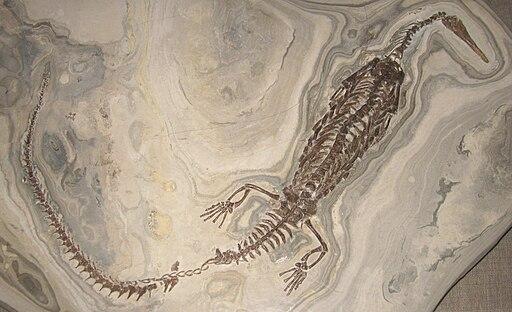 Mesosaurus tenuidens 1