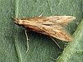 Metzneria lappella - Burdock seed moth - Выемчатокрылая моль репейная (26032615207).jpg