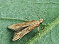 Metzneria lappella - Burdock seed moth - Выемчатокрылая моль репейная (39095290040).jpg