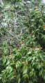 Mijo or guavaberry plant bearing fruit.png