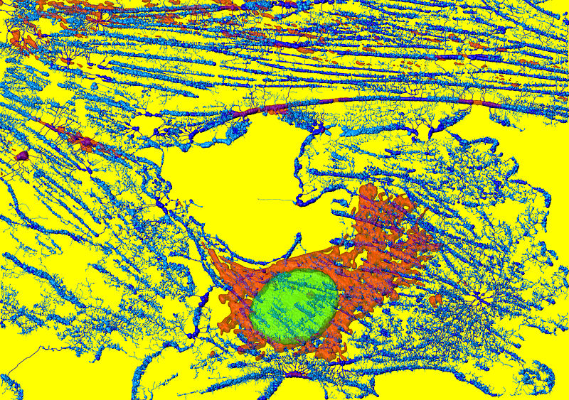 File:Mikrofilamendid, mitokondrid ja tuumad fibroblastides.JPG