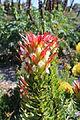 Mimetes cucullatus (flower).JPG