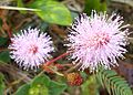 Mimosa Pudica Linn-Flower2.jpg