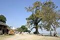 Mingun-Myanmar-05-Old Tree at Main Avenue.jpg