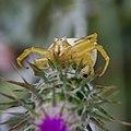 Misumena vatia-Araignée crabe-20160423-3.jpg