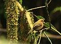 Mitrephanes phaeocercus -Costa Rica-8.jpg