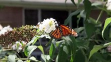 File:Monarch butterfly 2.webm