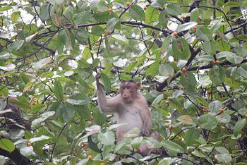 Monkey snap - Anish Joshi -SGNP- Borivali.jpg