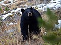 Montana Black Bear.jpg