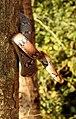 Montane Trinket Snake Coelognathus helena monticollaris by Dr. Raju Kasambe DSCN5610 (10).jpg