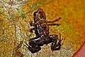 Monte Iberia Dwarf Frog (Eleutherodactylus Iberia) (8572426660).jpg