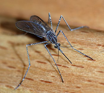 English: A female mosquito of the Culicidae fa...