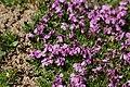 Moss Campion - Silene acaulis (44621815502).jpg