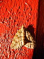 Moth in the red (2907296222).jpg