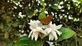 Moth on a Jasmine.jpg