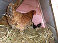 Mother hen with chicks (1).jpg