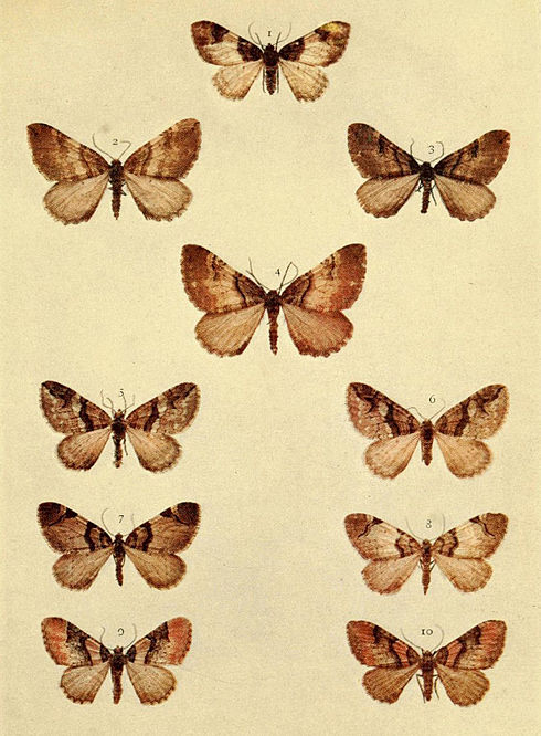 Moths of the British Isles Series2 Plate088.jpg