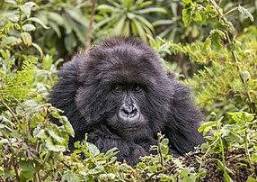 Portrait d'une femelle gorille des montagnes photographiée dans le parc national des volcans, au Rwanda. (définition réelle 5172×3648)
