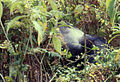 Mountain gorilla Virunga2.jpg