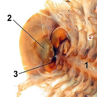 Mandible (arthropod mouthpart) - Head of a tadpole shrimp, with the mandibles labelled 3