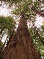 Muir Woods National Monument, CA, USA - panoramio (1).jpg