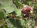 Mukurthi- Rubus sp.JPG