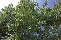 Mulberries on tree 1.jpg