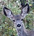 Mule Deer 3 (8056224959).jpg