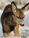 Mule deer fawn in snow.jpg
