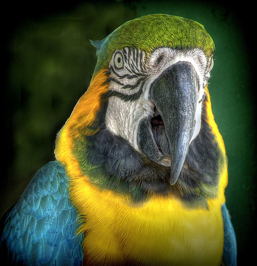 Multicolored parrot face (7767885876)