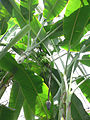 Musa acuminata3.jpg