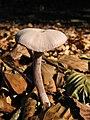 Mushroom-IMG 3460.JPG