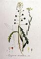 Myagrum dentatum — Flora Batava — Volume v8.jpg