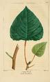 NAS-095 Populus × canadensis.png