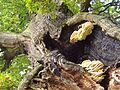 NLP Dicke Eiche Stamm und Pilze 4.jpg