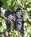 Napa Valley grapes 2.jpg