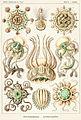 Narcomedusae Tafel 16 Kunstformen der Natur Ernst Haeckel.jpg
