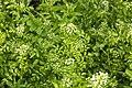 Nasturtium officinale marais-blangy-tronville 80 25052007 1.jpg